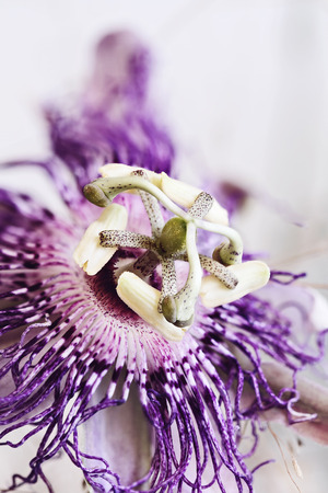 Abstract macro of a Passion Flower with an extreme shallow depth of field.