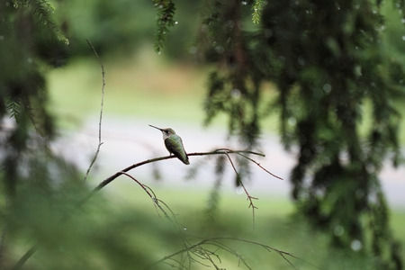 A beautiful female Ruby Throated Hummingbird (archilochus colubris) perched on a branch in the trees after a heavy summer rain storm. Extreme shallow depth of field with selective focus on little bird. Stock Photo