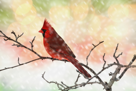 Male Cardinal perching on a branch during a snow storm.
