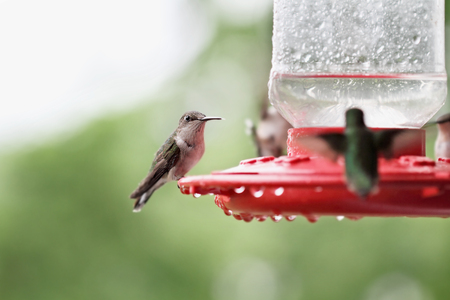 A beautiful female Ruby Throated Hummingbird (archilochus colubris) perched on a feeder with other hummingbirds perched around her after a rain storm. Extreme shallow depth of field with selective focus on bird in center.
