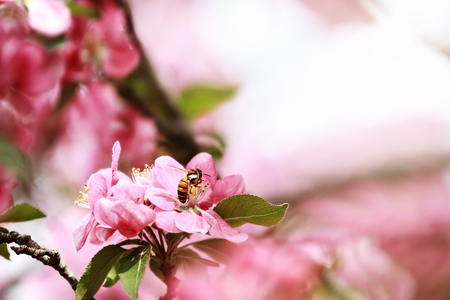 Close up of a honey bee feeding from a crab apple tree blossom with pollen packed on her legs. Selective focus with extreme shallow depth of field.