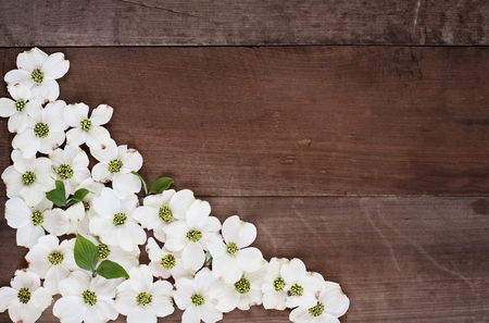 Close of flowering dogwood blossoms over a rustic wood table top background. Image shot from above with copy space. Stock Photo