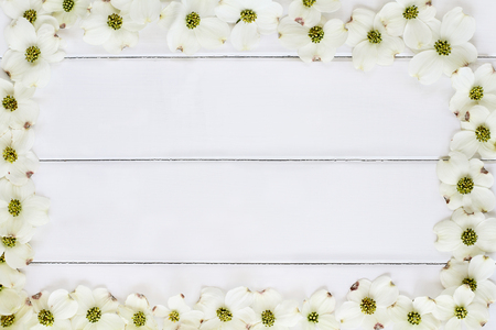 Close of flowering dogwood blossoms over a white wood table top background. Image shot from above with copy space.