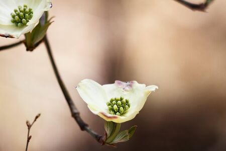 Flowering dogwood blossoms against a natural brown background. Extreme shallow depth of field with selective focus on center of flower in foreground. Stock Photo