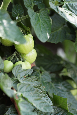 self sufficient: Green organic Cherry tomatoes growing on the vine. Extreme shallow depth of field with selective focus. Stock Photo