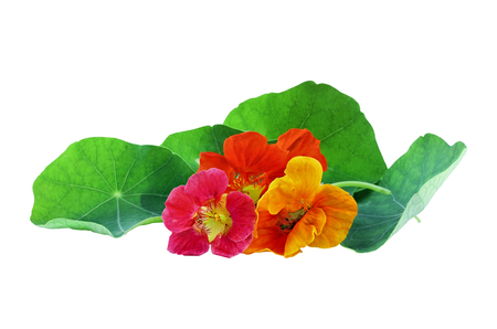 Red, orange, and yellow Nasturtium flowers isolated on a white background with clipping path included. Available copy space for text. Stock Photo