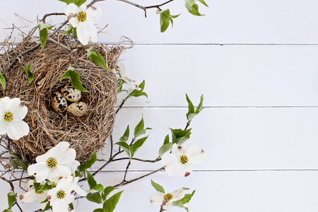 Bird nest with speckled eggs over a white rustic wood table top amidst flowering dogwood branches and flowers. Image shot from above with copy space.