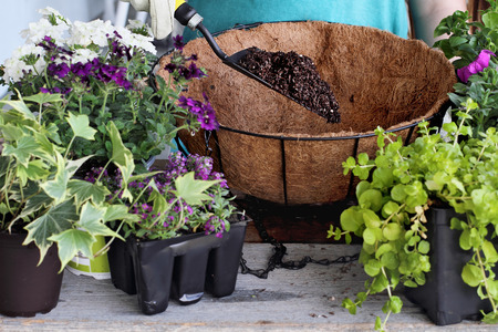 Demonstration of a young woman giving a tutorial on how to plant a hanging basket or pot of flowers. Flowers include Verbena, Petunias, Creeping Jenny and Alyssum. Stock Photo