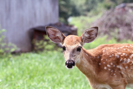 A spotted White-tailed deer fawn without his mother standing in a grassy meadow alone near an old barn.