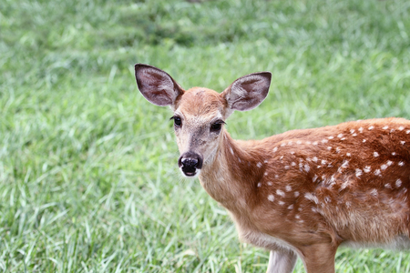 A spotted White-tailed deer fawn without his mother standing in a grassy meadow alone.