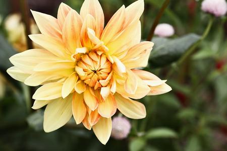 Beautiful yellow and orange Motto Dahlia, or the Dinner Plate Dahlia, flower.