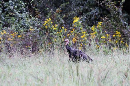 Wild young tom turkey walking in talking grass near edge of woods.