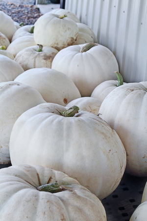 Large white pumpkins picked fresh from the field and ready to be sold at the Farmers Market. Stock Photo