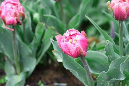 Belle tulipe rose à double volants, tulipes Angélique, avec des gouttes de pluie poussant dans un jardin. Mise au point sélective avec un arrière-plan flou doux. Banque d'images