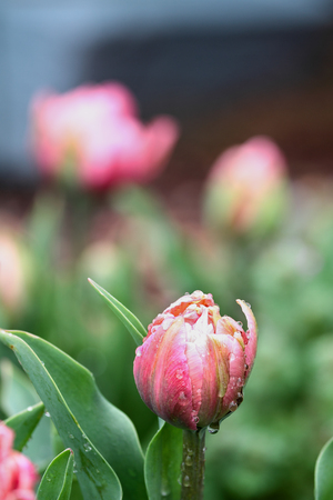 Beautiful double ruffled pink tulip , Angelique tulips, with rain drops growing in a garden. Selective focus with soft blurred background.