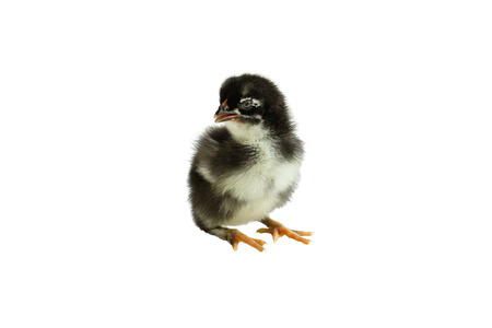 Cute little black and yellow French Copper Maran chicken  chick isolated over a white background.