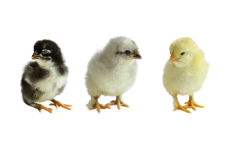 Three color variants of the French Copper Maran chickens  chicks isolated over a white background. Black, Blue and Splash. Stock Photo