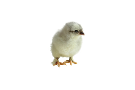 Cute little French Blue Copper Maran chicken  chick isolated over a white background.
