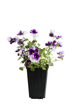 Purple and white potted Pansy, also know as Viola tricolor variety hortensis, isolated over a white background. Clipping path included. Spring and Autumn annual garden plant. Stock Photo