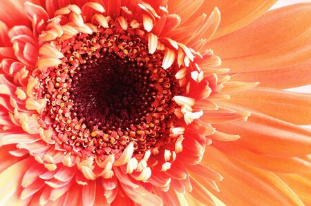 Selective focus of a beautiful abstract macro of a coral colored Gerbera Daisy with water drops over a pink background. Copy space for your text. Top view. Stock Photo - 129389058