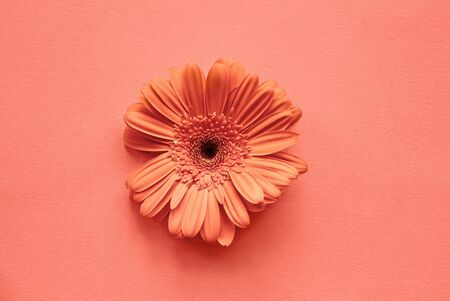Coral colored Gerbera Daisy over a similar background. Image shot from top view  flat lay position.