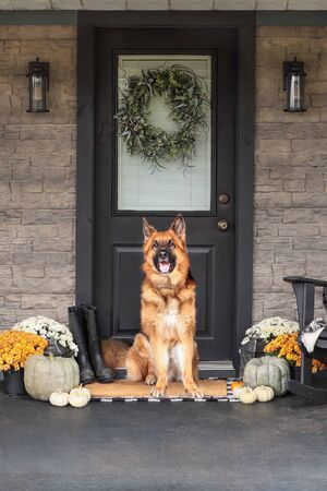 German Shepherd dog sitting on front porch decorated for Thanksgiving Day with homemade wreath hanging on door. Heirloom gourds,  white pumpkins, rainboots and mums giving an inviting atmosphere.