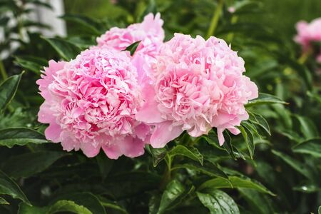 Cluster of three beautiful blooming pink Peony flowers in center of plants. Selective focus with blurred background.