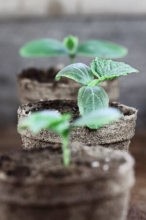 Three Cucumber plants with soil in trowel and seedling peat pots in the background over a rustic wooden background. Extreme shallow depth of field with selective focus on plant in center.