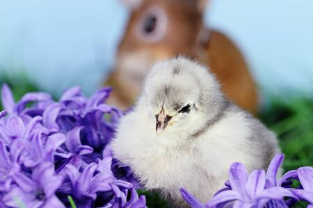 Little white and grey Easter chick sitting in the middle of purple hyacinth flowers with a brown bunny rabbit in background. Extreme shallow depth of field.