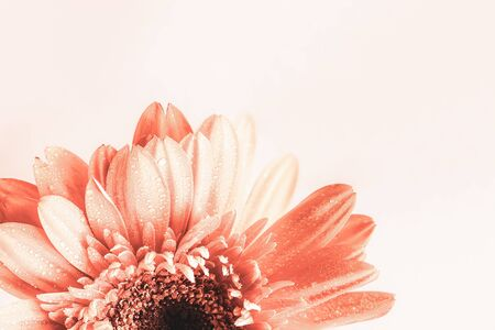 Selective focus of a beautiful abstract macro of a coral colored Gerbera Daisy with water drops over a light background. Copy space for your text. Top view. Stockfoto