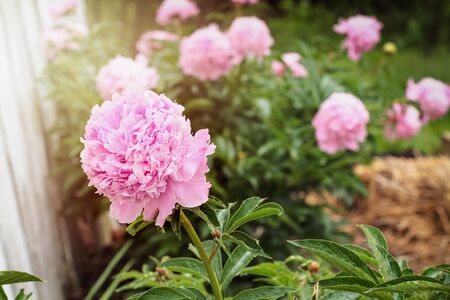 Garden of beautiful blooming pink Peony plants against a white fence. Selective focus on flower in foreground with blurred background.