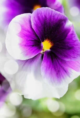 Up close macro of a purple and white Pansy with bokeh and blurred background. Selective focus on center of Viola flower. Spring and Autumn annual garden plant.