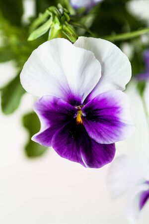 Purple and white potted Pansy, also know as Viola tricolor variety hortensis, blossom with blurred background. Spring and Autumn annual garden plant.