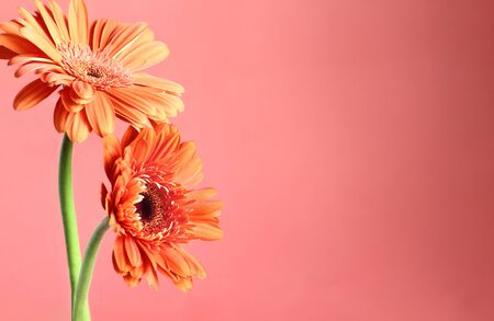 Beautiful abstract of two orange colored Gerbera Daisies against a coral colored background. Copy space for your text. Selective focus on center of daisies with blurred foreground and background.