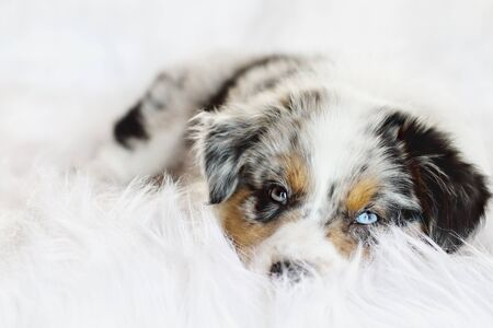 Cute litte 8 week old lying on a fluffy white rug, sound asleep. Selective focus on the sleeping Australian Shepherd puppys face. He has one blue eye and one green. Stockfoto