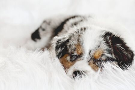 Cute litte 8 week old lying on a fluffy white rug, sound asleep. Selective focus on the sleeping Australian Shepherd puppy's face.