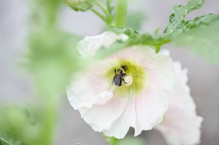 Bumblebee bee collecting pollen from a beautiful old fashioned soft pink Hollyhock, Althaea rosea (Alcea rosea), flower. Selective focus Shallow depth of field with a blurred background. Stock fotó
