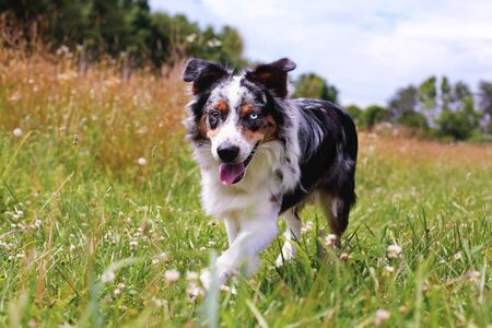 Beautiful juvenile male Blue Merle Australian Shepherd dog walking through a summer field. Selective focus with blurred background.