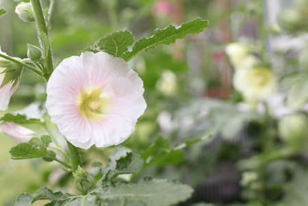 Beautiful old fashioned soft pink Hollyhock, Althaea rosea (Alcea rosea), flower growing in a garden. Selective focus Shallow depth of field with a blurred background. Stock fotó