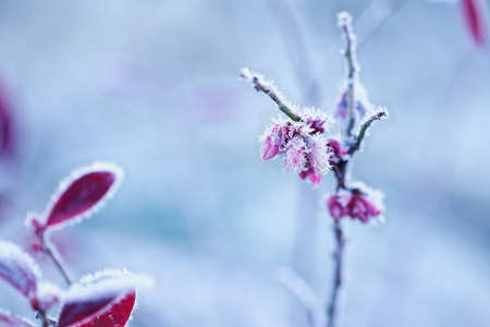 Field of beautiful frosted flower buds of a drawf blueberry plant. Selective focus with extreme blurred foreground and background.