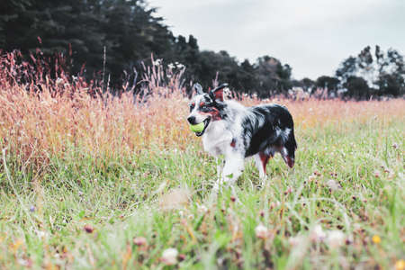 Beautiful juvenile male Blue Merle Australian Shepherd dog walking through a summer field with a tennis ball.  Selective focus with blurred background. Stockfoto