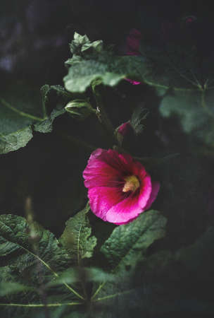 Beautiful textured old fashioned dark pink or purple Hollyhock, Althaea rosea (Alcea rosea), flower growing in a garden. Selective focus Shallow depth of field with a blurred background.