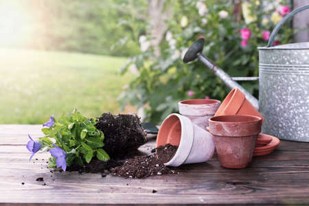 Outdoor garden bench with Balloon flowers and soil spilling from clay pottery in front of a stand of hollyhock plants. Extreme shallow depth of field with selective focus on tipped over pot.