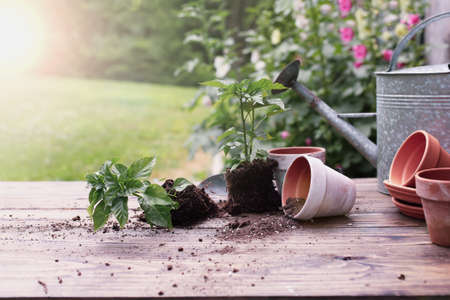 Outdoor garden bench with pepper plants and soil spilling from clay pottery in front of a stand of hollyhock plants. Extreme shallow depth of field with selective focus on tipped over pot.