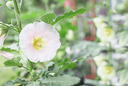 Beautiful old fashioned soft pink Hollyhock, Althaea rosea (Alcea rosea), flower growing in a cottage garden. Selective focus with blurred background.