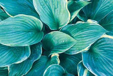 Overhead view of beautiful variegated blue Hosta. Image shot from top view.