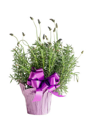 Spanish lavender or Lavandula stoechas potted up with a large purple bow isolated over a white background.