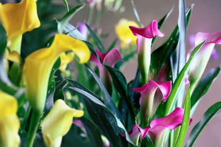 Beautiful pink and yellow Calla Lilies, Zantedeschia aethiopica; growing closely together. Selective focus with blurred background.