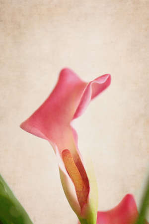 Details of a pink Calla Lily flower. Shallow depth of field with blurred background.