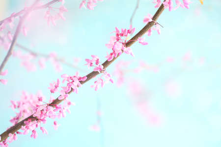 Abstract spring backdrop of beautiful Eastern Redbud Tree blossoms against soft peaceful blue sky. Selective focus with extreme blurred background.